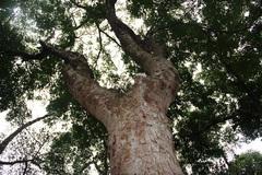 Rừng lim 300 tuổi xanh ngút ngàn ở huyện lúa xứ Nghệ
