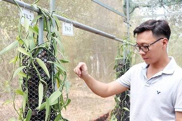 Kỹ sư xây dựng mạo hiểm trồng loại cây cho gia vị đắt đỏ hàng đầu thế giới, giá cả chục triệu đồng/kg