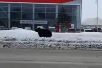 Gấu thoát khỏi khách sạn, đuổi người đi đường chạy thục mạng trên phố