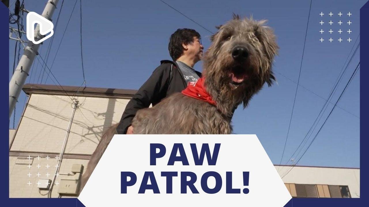 Chú chó trung thành đưa trẻ em Nhật Bản đến trường an toàn