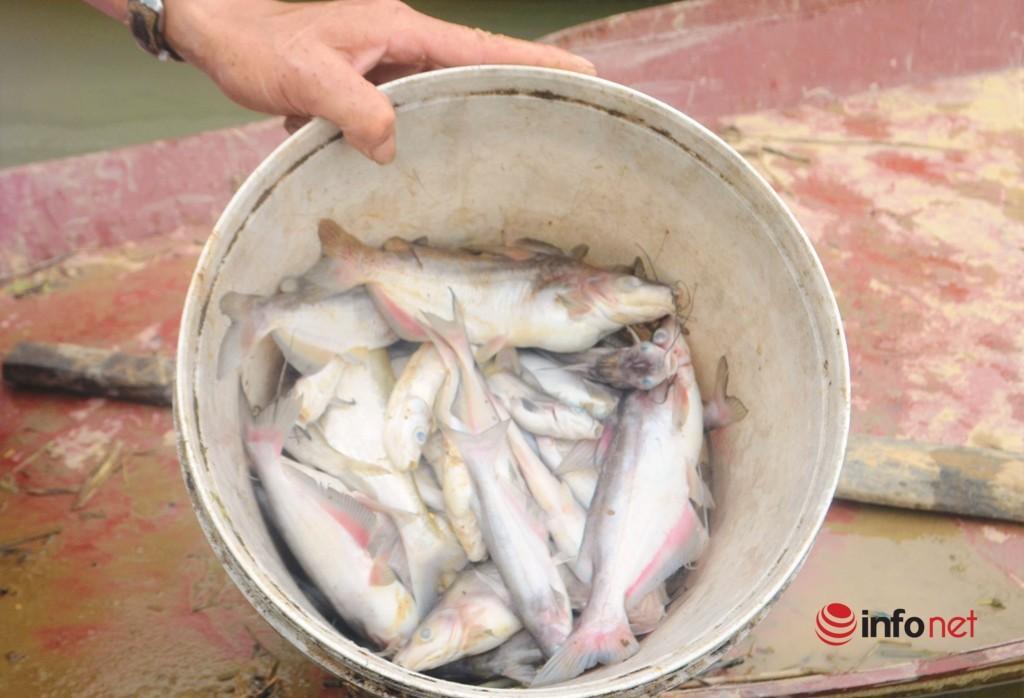 Cá chết trên sông Con,Nghệ An,ô nhiễm môi trường