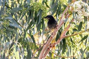 Loài chim quý hiếm này có thể bị tuyệt chủng vì quên 'bài hát giao phối'