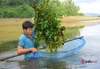 Mỗi ngày 2 giờ lội nước rũ lá cây, chàng trai kiếm nửa triệu