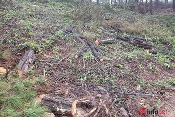 Hiện trường vụ phá rừng thông 30 năm tuổi ở Hà Tĩnh: Cả mảng rừng bị 'cạo trắng', hàng trăm khúc gỗ nằm ngổn ngang