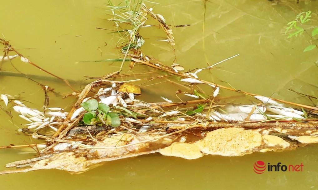 Cá chết bất thường trên sông Con ở Nghệ An: Tiếp tục điều tra khả năng xả thải trộm