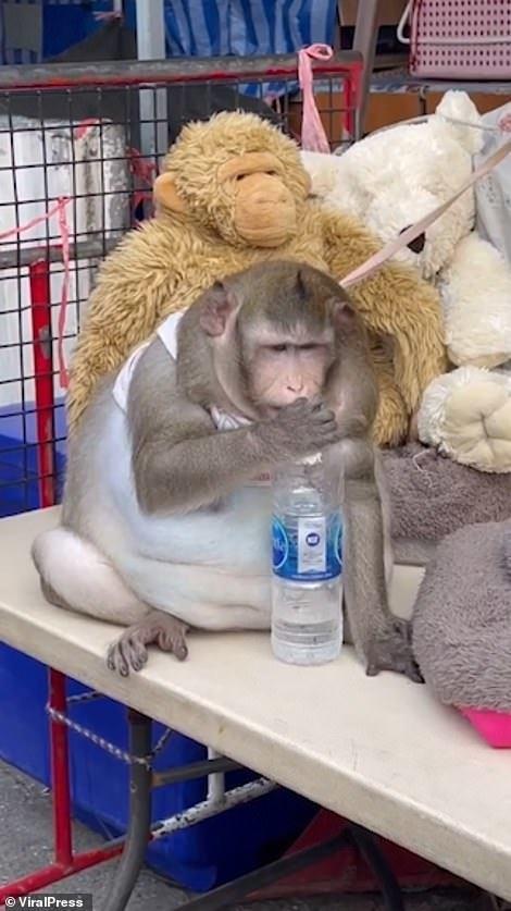 Khỉ béo phì vì ăn vặt quá nhiều