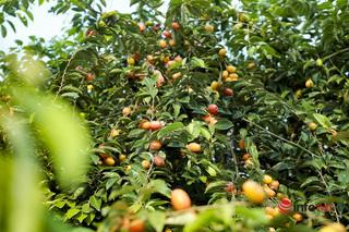 Trồng loại quả vừa chua vừa chát, người Hà Nội vẫn thu về trăm triệu đồng