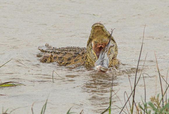 Kinh hoàng khoảnh khắc cá sấu ngoạm đầu cá mập
