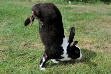 Kỳ lạ loài thỏ di chuyển bằng tư thế 'trồng cây chuối'