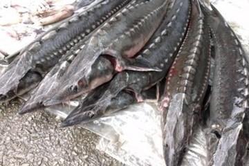 Phát hiện nhiều lô cá tầm nhập khẩu không đúng chủng loại