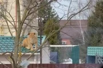 Sư tử cái gây hỗn loạn khi xuất hiện trên... mái nhà