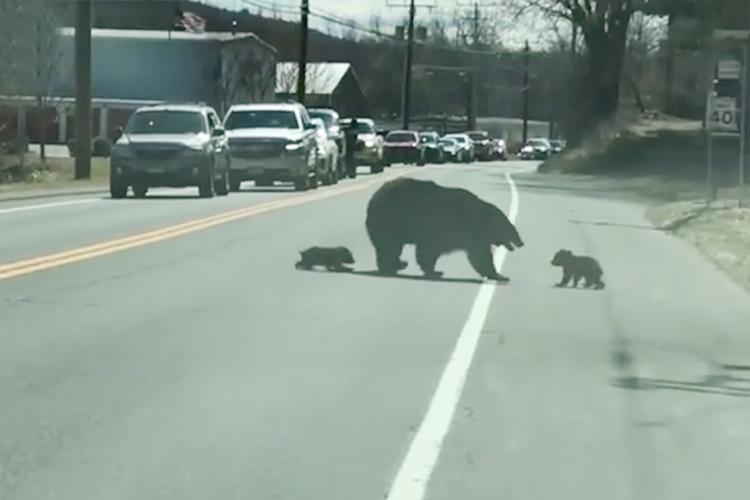 Tan chảy với hình ảnh gấu mẹ dỗ dành, tha lôi 4 con qua đường