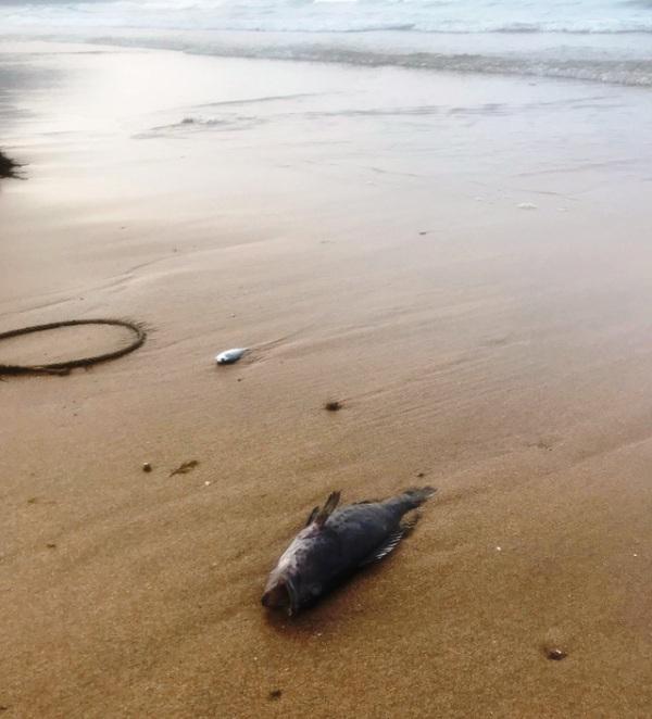 Cá chết bất thường dọc bãi biển Nghệ An
