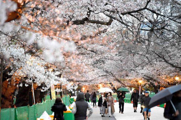 Hoa anh đào Nhật Bản nở rộ, lập kỷ lục thời gian nở sớm nhất 1.200 năm
