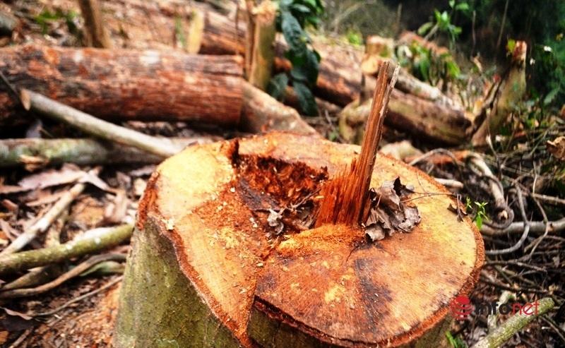 Rừng tự nhiên,Nghệ An,chặt phá rừng tự nhiên,khai thác gỗ trái phép,gỗ rừng
