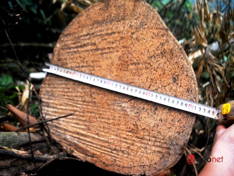 Nghệ An: Hàng loạt cây gỗ lớn bị chặt, 2.500m2 rừng tự nhiên bị ảnh hưởng