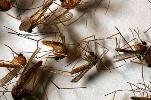 Đốt tinh dầu diệt muỗi: Muỗi chết, người cũng liêu xiêu