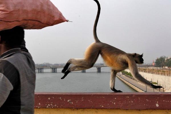 khỉ,ăn trộm,tội phạm