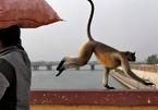 Mang khỉ đi hành nghề cướp giật trên đường phố Ấn Độ