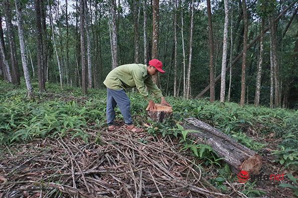 Thừa Thiên - Huế,Rừng thông,Kiểm lâm,Quản lý bảo vệ rừng,phá rừng