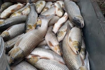 Lại thêm hàng chục tấn cá chết trắng vùng hạ lưu sông Mã