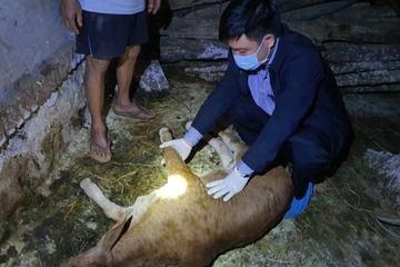 Thanh Hóa: Hơn 3.600 con trâu, bò mắc bệnh viêm da nổi cục, phải tiêu hủy 230 con