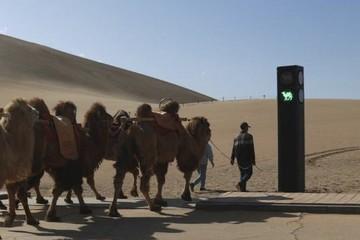 Đèn giao thông dành cho lạc đà 'gây bão' ở khu du lịch Trung Quốc