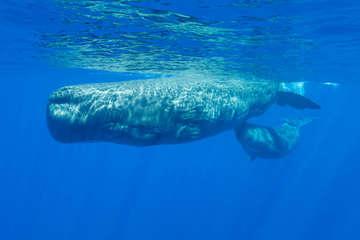 Khoảnh khắc hiếm gặp quay cận cảnh cá nhà táng bú sữa mẹ