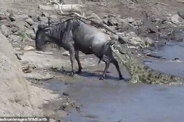 Linh dương khốn khổ xoay sở thoát khỏi hàm cá sấu