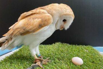 Sở thú Nhật Bản nhầm lẫn giới tính của chim cú