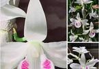 Giới sành lan: Lan đột biến không hiếm, muốn là có ngay vạn cây