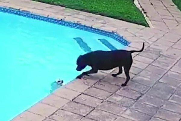 Chú chó thông minh cứu bạn thoát chết
