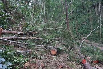 """Vụ 44 cây thông lớn bị """"chặt trộm"""" ở Huế: Đã tìm được người chặt phá, hàng chục người bị Công an mời làm việc"""