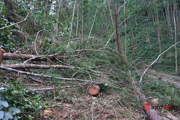 Vụ 44 cây thông lớn bị 'chặt trộm' ở Huế: Đã tìm được người chặt phá, hàng chục người bị Công an mời làm việc