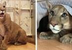 Không sợ nguy hiểm, cặp đôi nuôi báo sư tử làm thú cưng