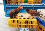 """Quảng Nam: Đi vệ sinh trước lò giết mổ động vật, """"tiện tay"""" trộm hàng trăm con gà"""