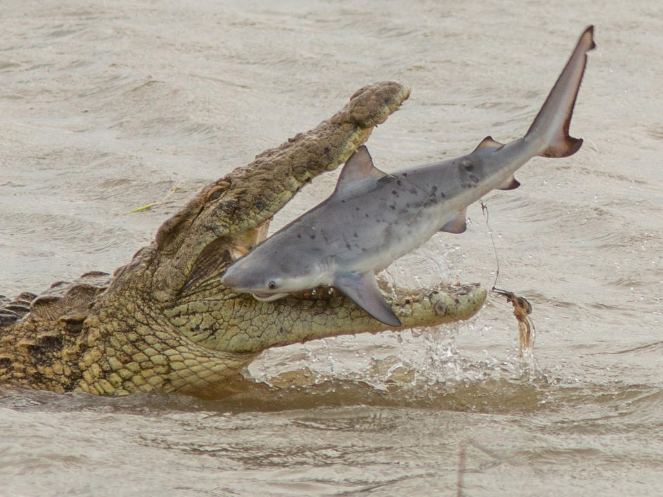 Khoảnh khắc bất ngờ cá mập truy đuổi cá sấu ở Australia