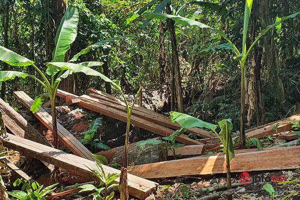 Huế: Rừng Tùng Ta Lăng 'chảy máu', nhiều cây khủng bị chặt hạ, cắt xẻ ngổn ngang