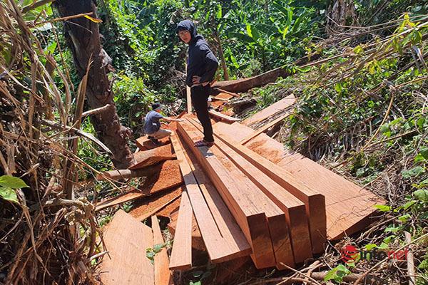 """Huế: Rừng Tùng Ta Lăng """"chảy máu"""", nhiều cây khủng bị chặt hạ, cắt xẻ ngổn ngang"""