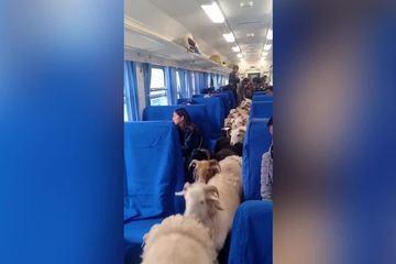 Bất ngờ đoàn tàu chở người và gia súc ngồi lẫn với nhau