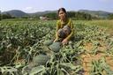 Quảng Nam: Hàng ngàn gốc dưa hấu bị kẻ gian cắt phá