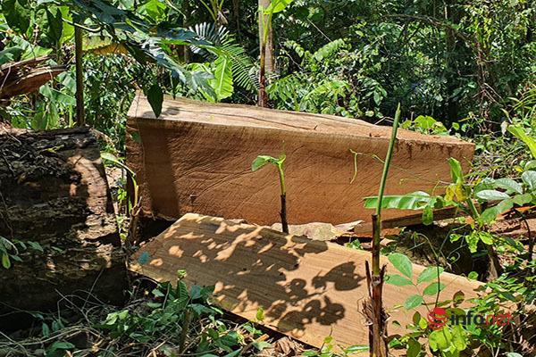 Thừa Thiên Huế: Rừng cây cổ thụ trăm năm tuổi tan hoang vì 'lâm tặc', ai chịu trách nhiệm?