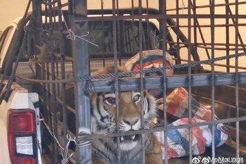 Cuộc chạm trán giữa người nông dân ở ngoài đồng và con hổ hơn 200kg