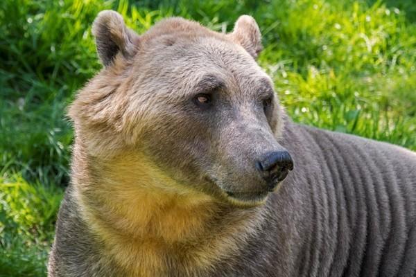 Tiết lộ lý do khiến gấu lai hung dữ lan rộng khắp Bắc Cực