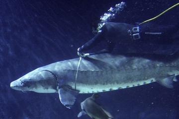 Bắt được cá tầm trăm tuổi, nặng hơn 100 kg