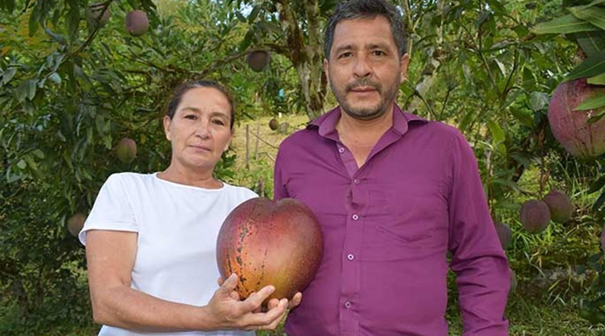Quả xoài khủng 4,25 kg lập kỷ lục thế giới xuất hiện ở... Nam Mỹ