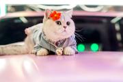 Mèo trắng làm mẫu xe hơi kiếm bội tiền cho chủ