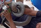 Vào hè nhiều người bị rắn độc cắn và những lưu ý sống còn