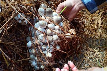 """""""Tranh thủ"""" trồng nấm rơm mùa hạn, nông dân Cà Mau thu cả trăm triệu đồng mỗi vụ"""