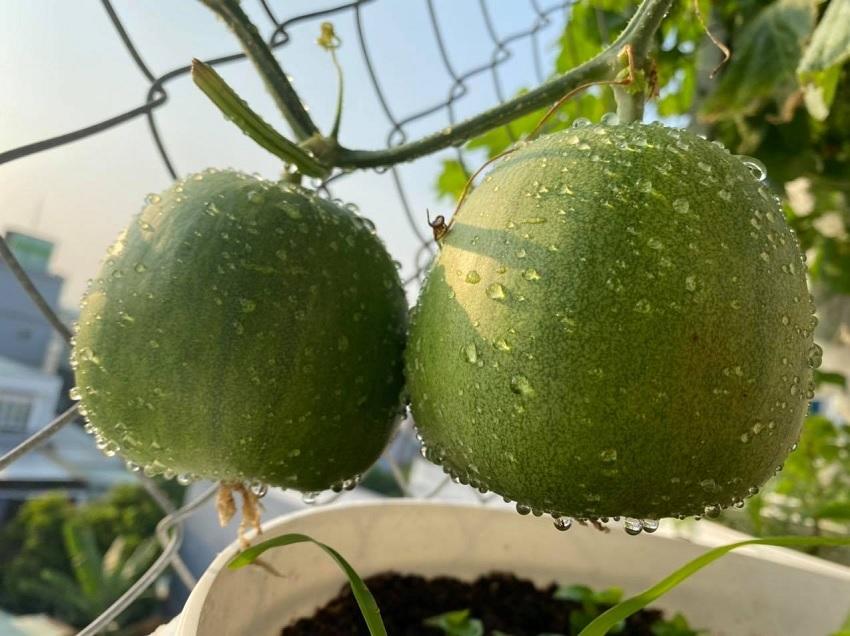 Khu vườn sân thượng thu hoạch cả tạ cà chua ở Đà Nẵng